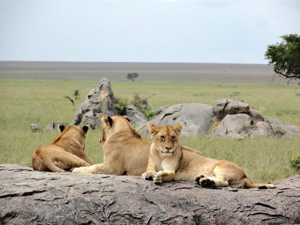 Löwen beim Ausruhen