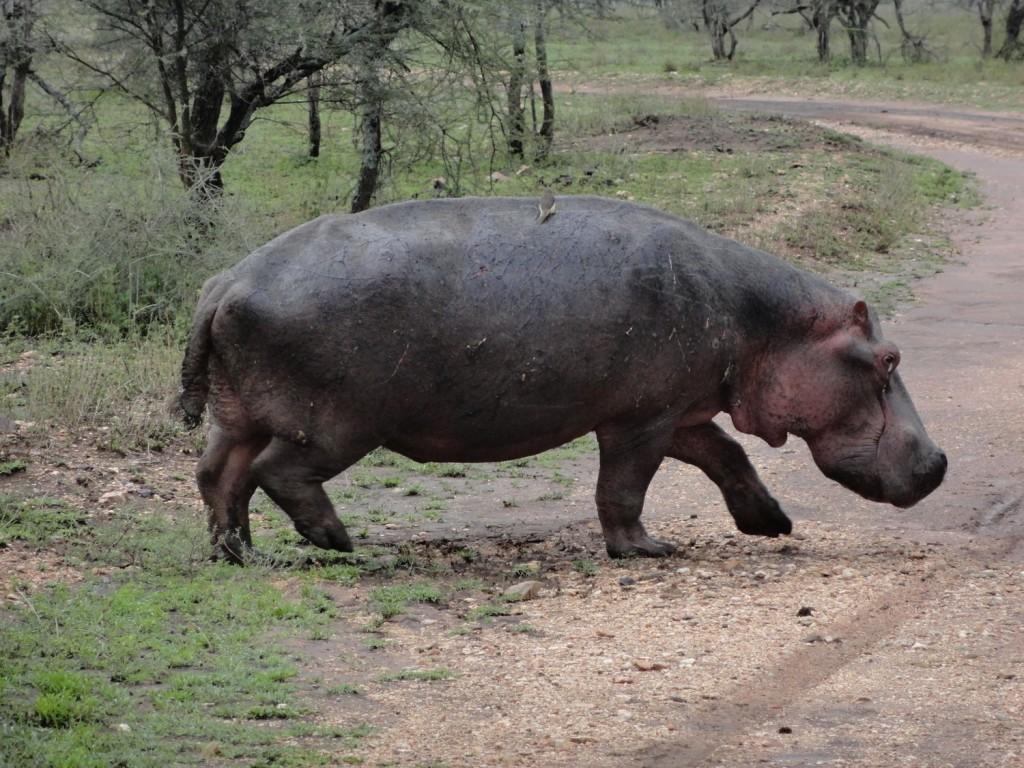 Hippo im Anmarsch