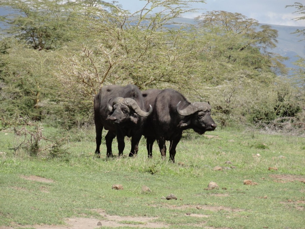 Büffel im Ngorongoro Krater