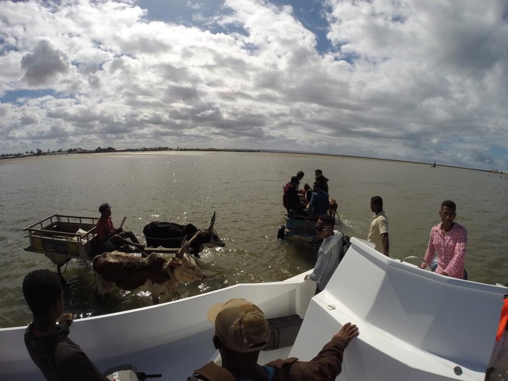 Mit dem Zebu-Karren die letzten Meter vom Boot nach Tuléar