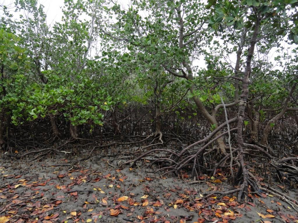 Mangrovenwälder umgeben die Insel Kilwa Kisiwani