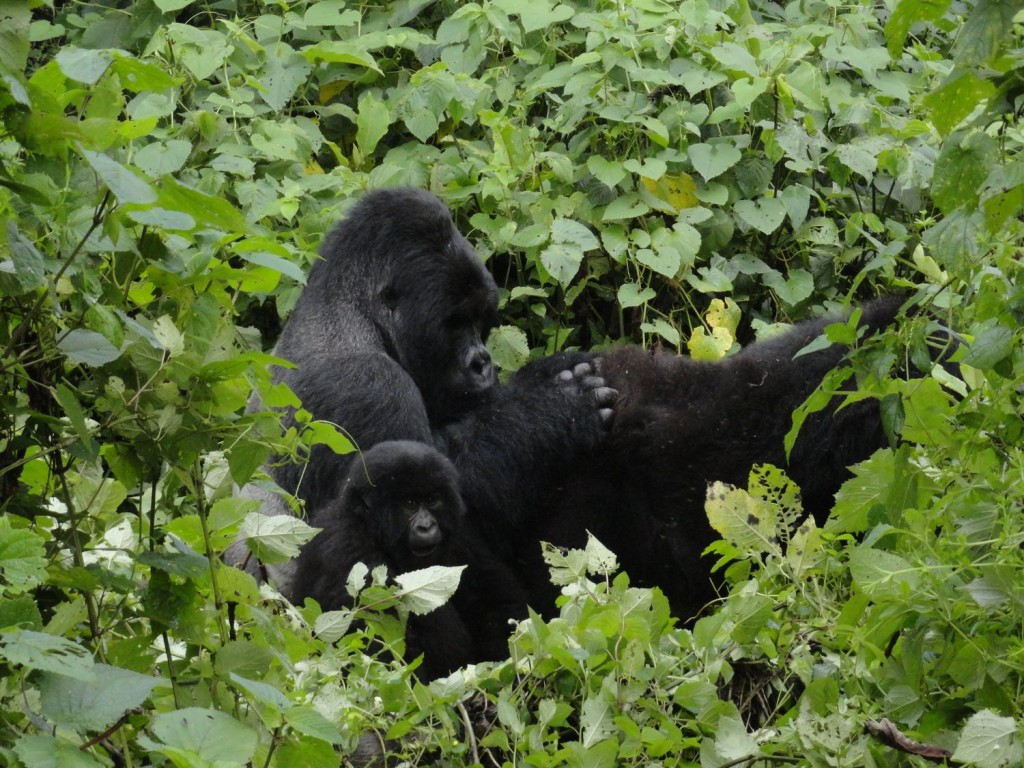 Silverback while grooming a female