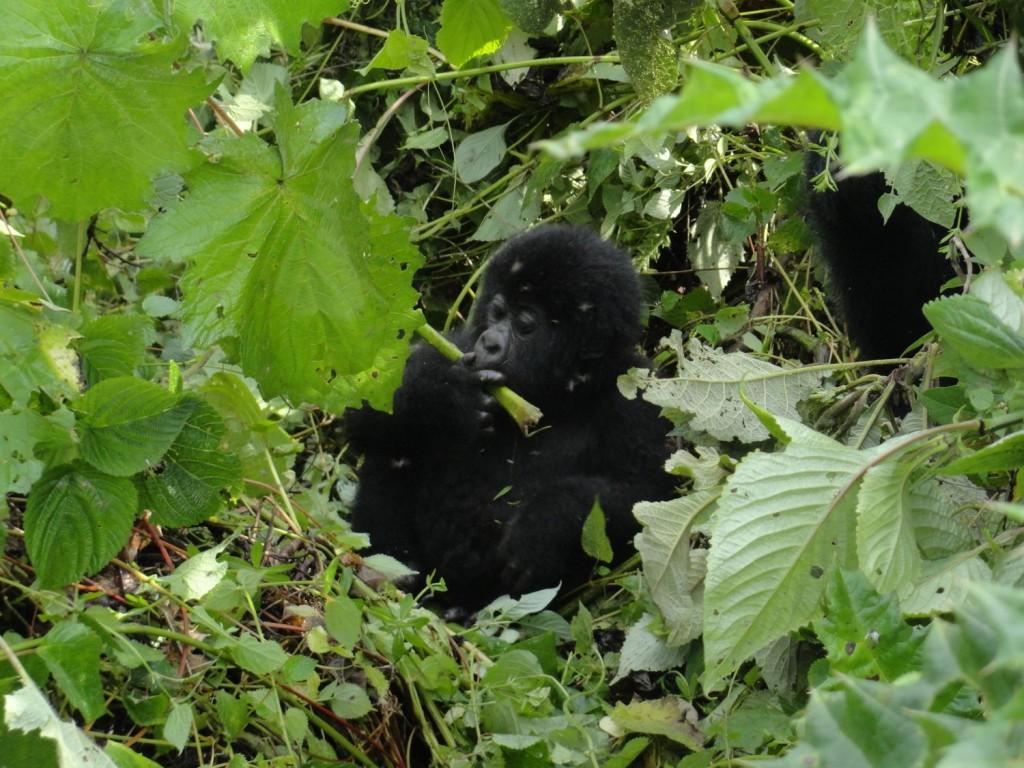 Babygorilla beim Fressen