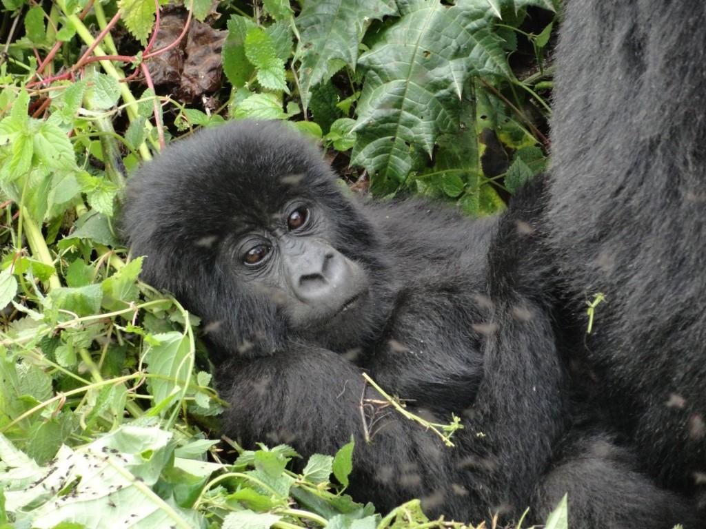 Baby-Berggorilla