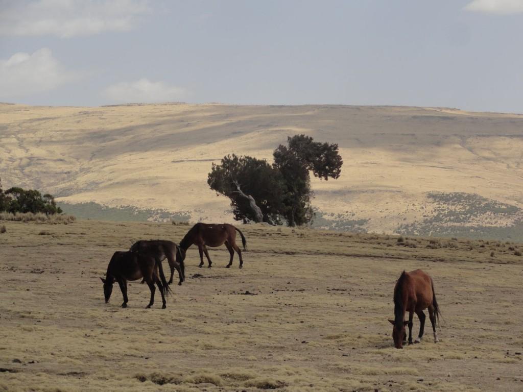 Pferde bei Gich