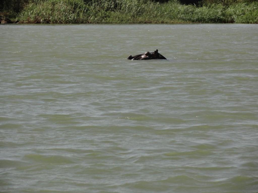 Hippo im Blauen Nil