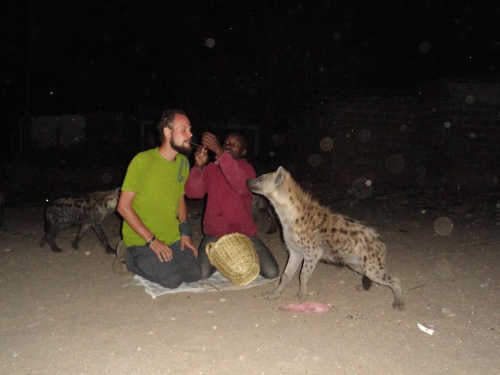 Hyänenfütterung