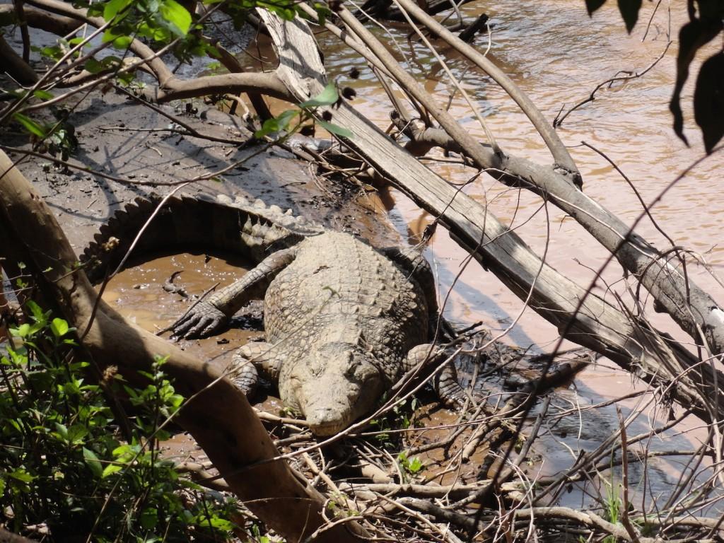 Krokodil im Nachisar Nationalpark