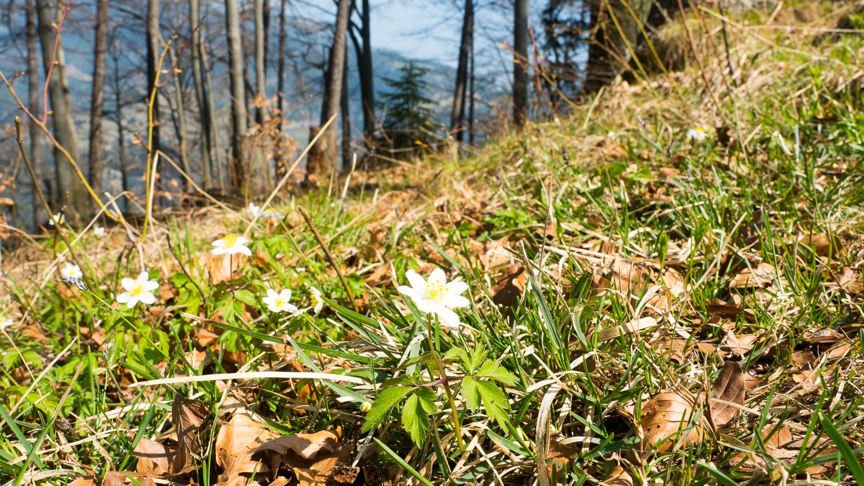 Blumen am Seebergkopf