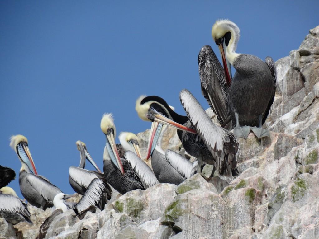 Pelikane auf den Islas Ballestas