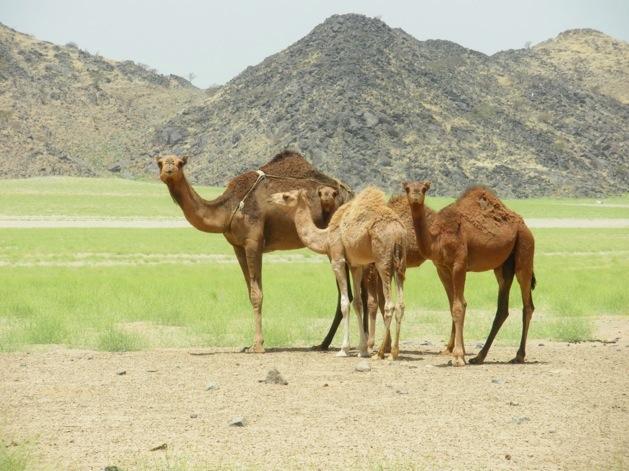 Kamele in der Wüste bei Mekka