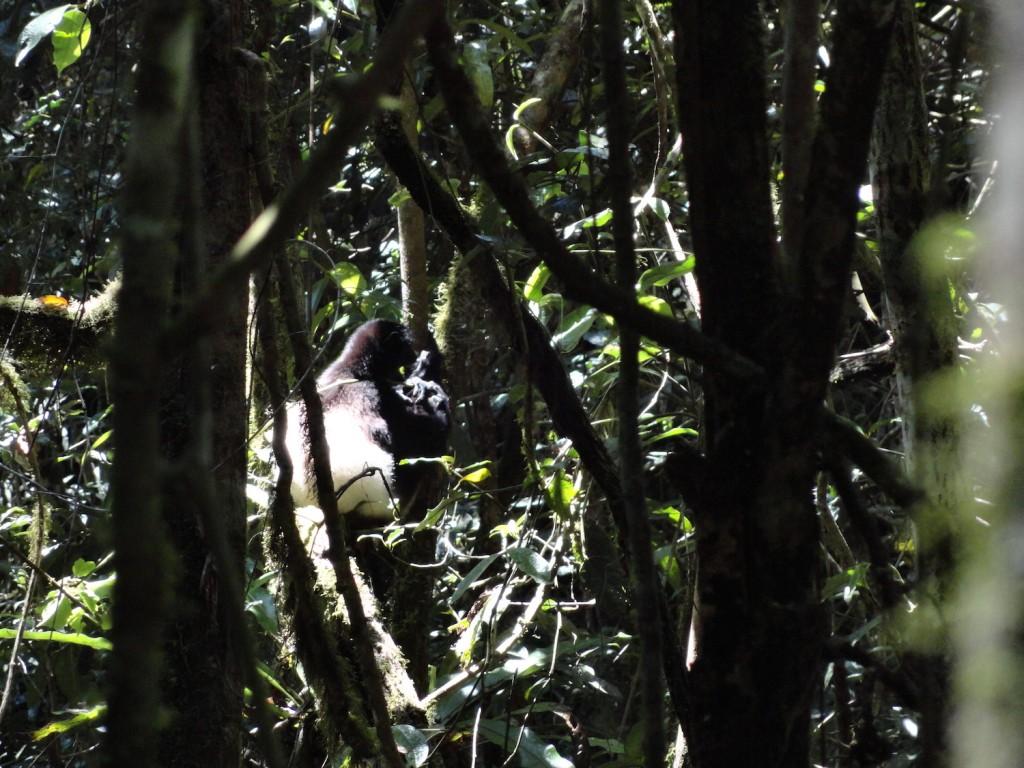 Lemur im Ranomafana Nationalpark