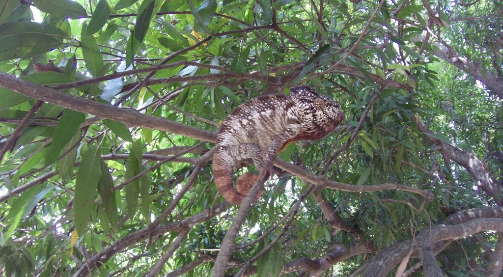 Chamäleon auf einem Mangobaum
