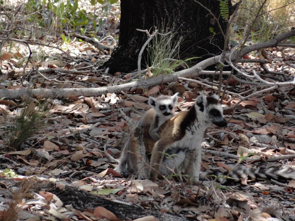 Lemurenmutter mit Baby