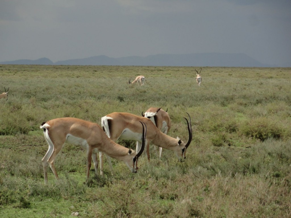 Grant-Gazelle in der Serengeti