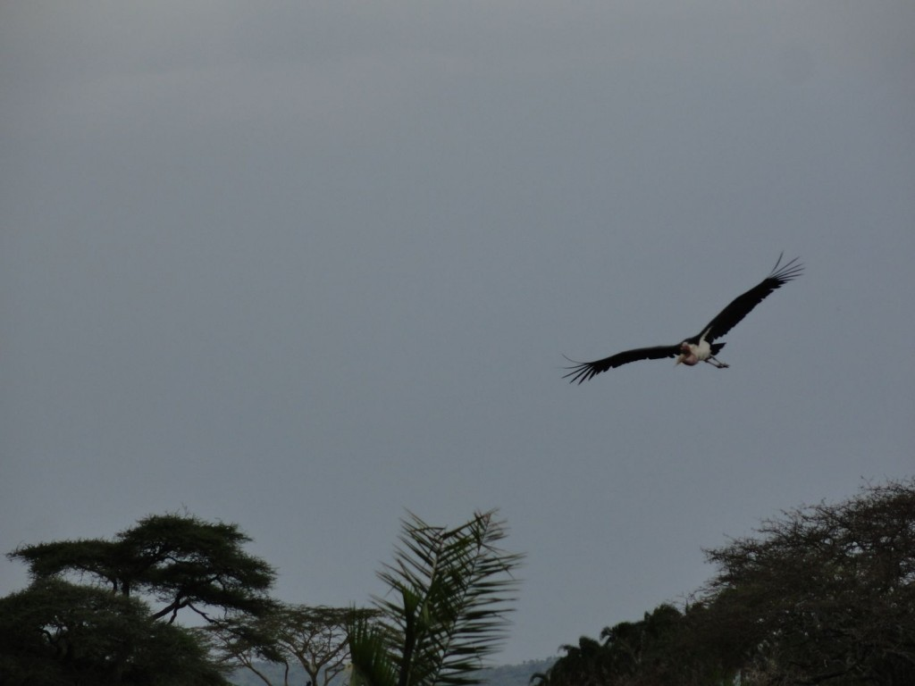 Marabu im Anflug