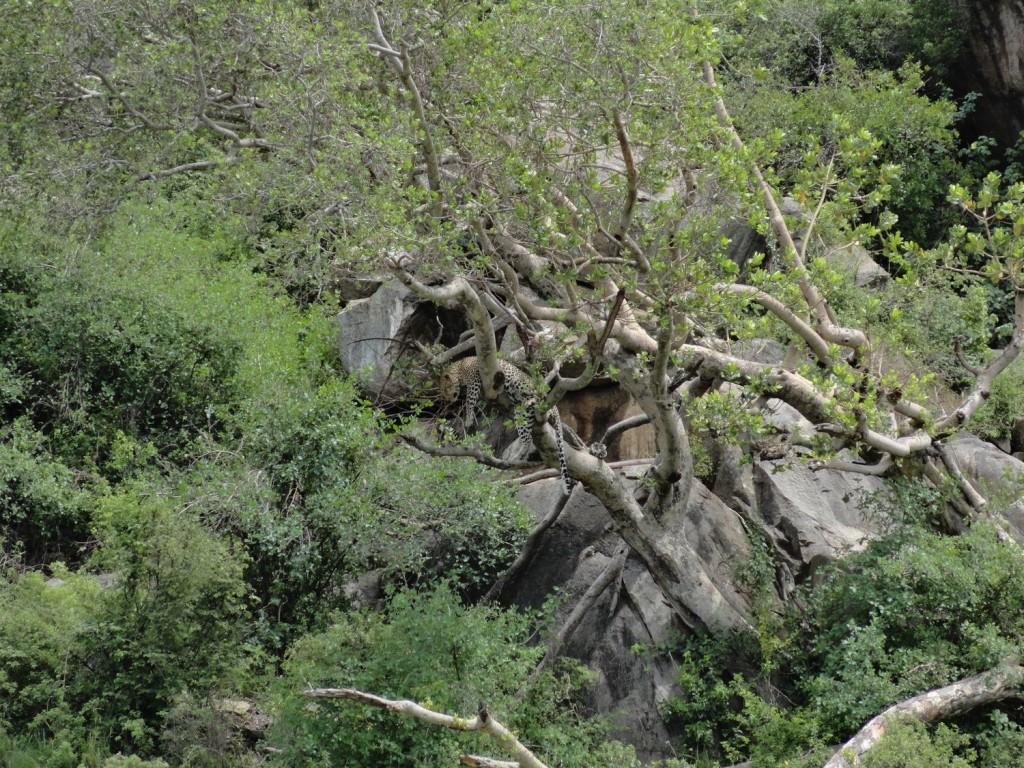 Leopard im Baum in der Serengeti