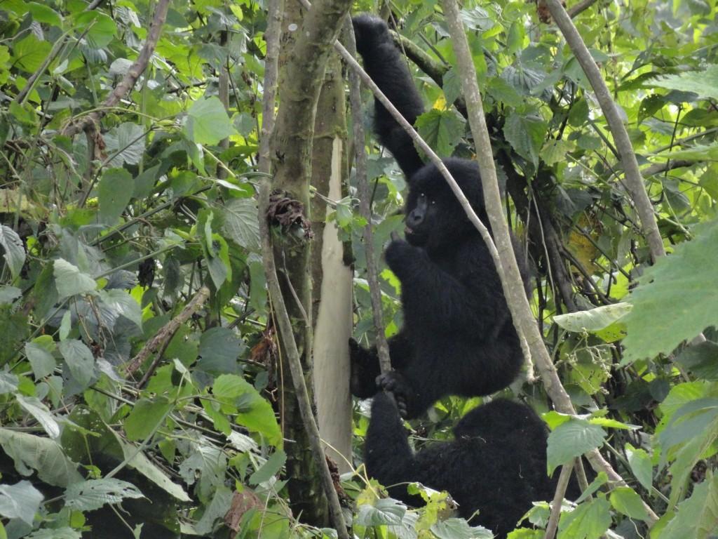 Junger Gorilla beim Fressen
