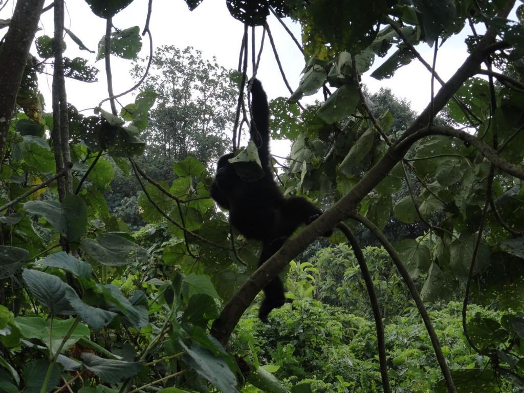 Junge Gorillas beim Spielen