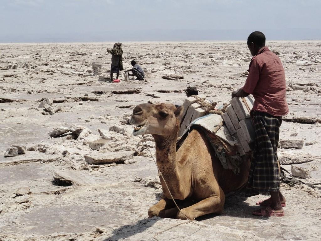 Kamel wird mit Salzblöcken beladen