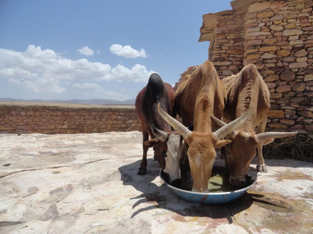 Kühe beim Trinken auf Debre Damo