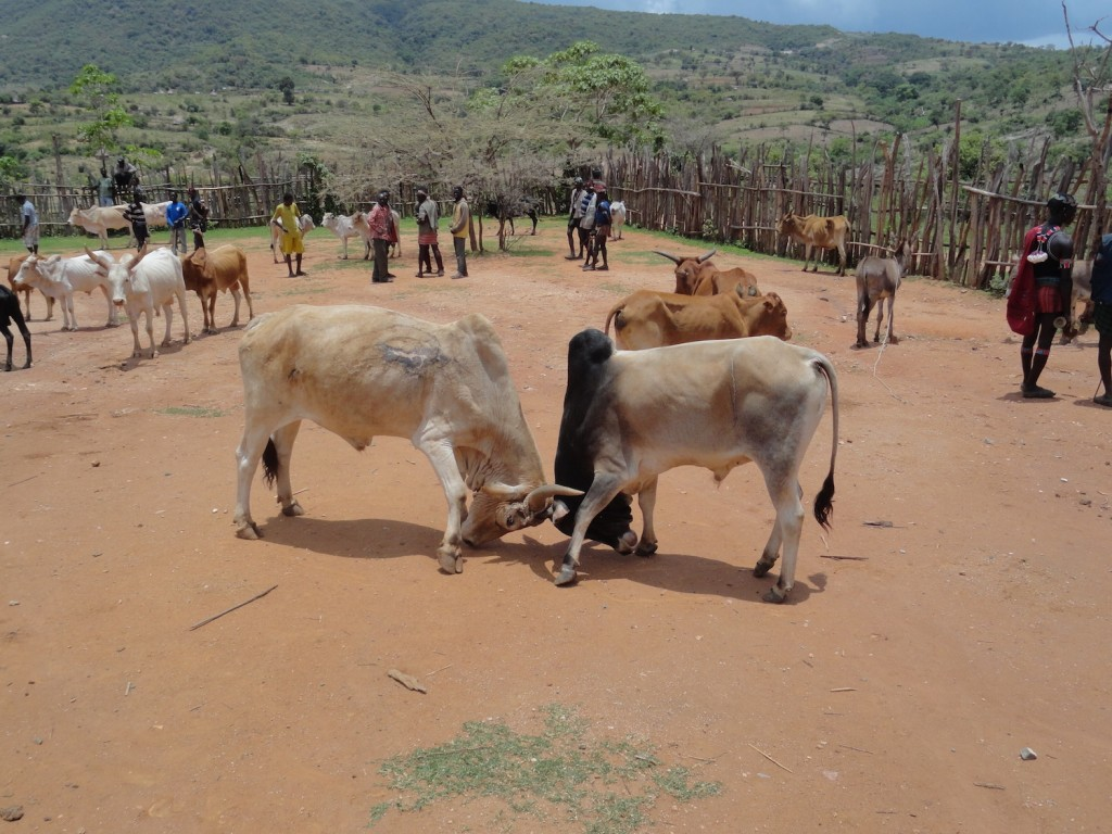 Bullenkampf auf dem Viehmarkt von Keyafer