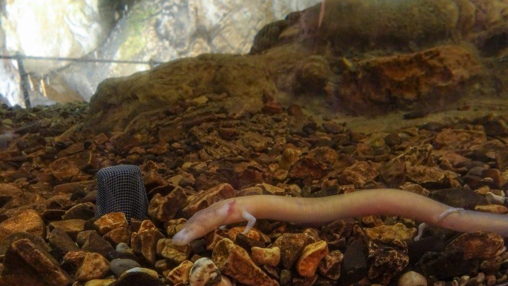 Grotten Olm - Der Drache von Postojna
