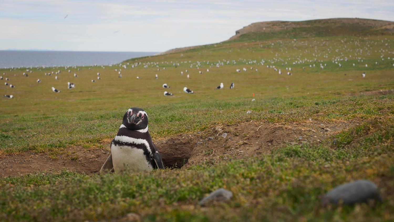 Pinguin beim Brüten